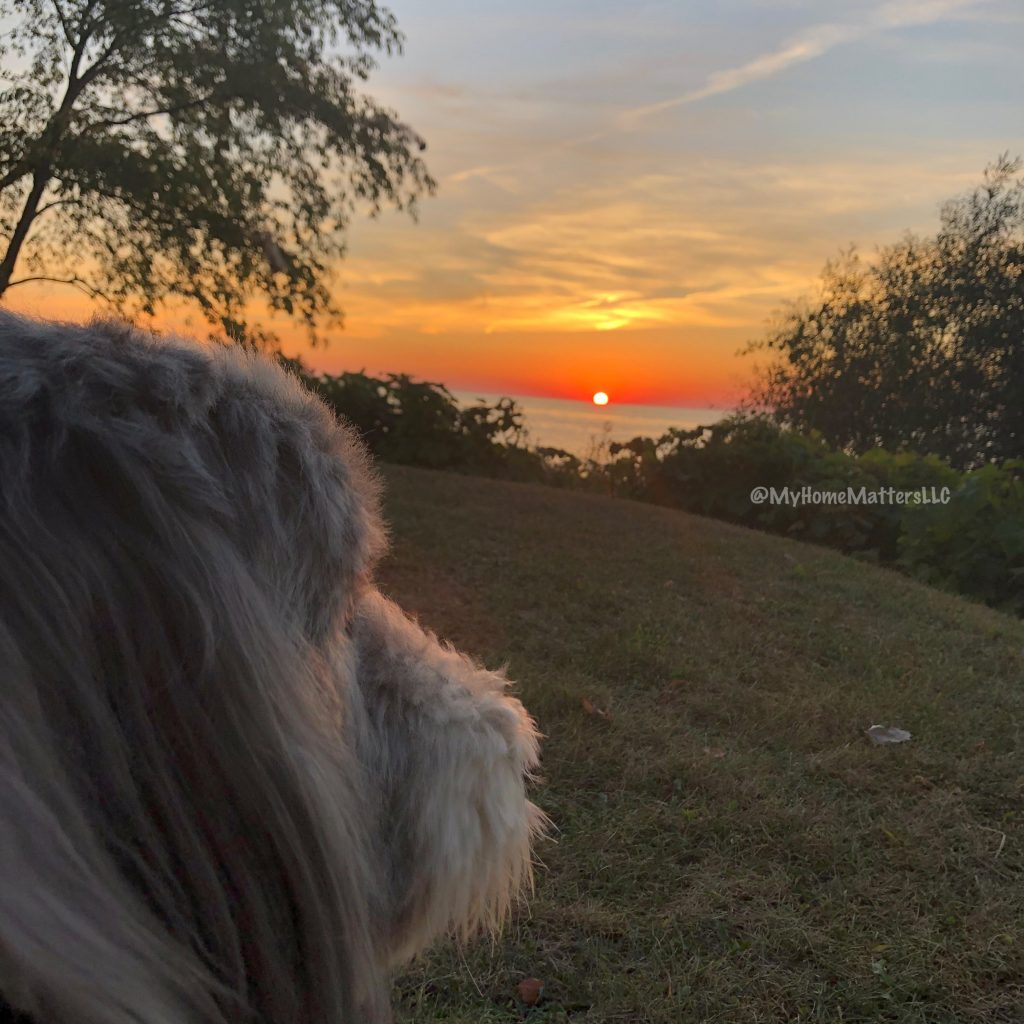 Bearded Collie dog looking at the Lake Erie sunset